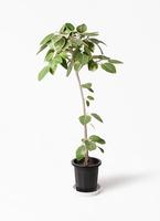 観葉植物 フィカス アルテシーマ 8号 ストレート プラスチック鉢