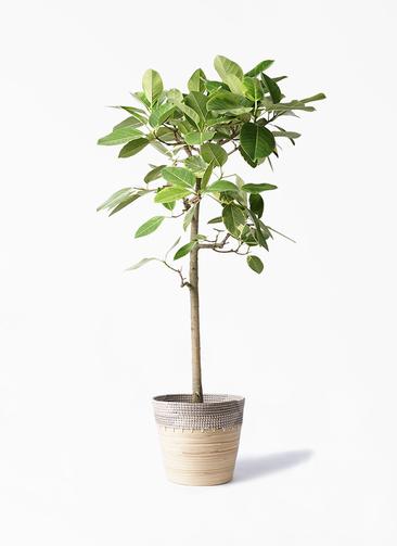 観葉植物 フィカス アルテシーマ 10号 ストレート アルマ コニック 白 付き