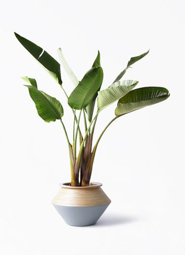 観葉植物 オーガスタ 8号 アルマジャー グレー 付き