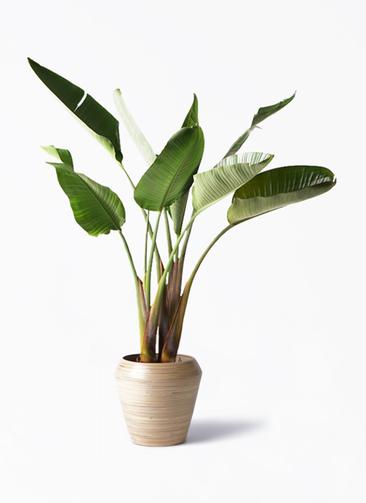 観葉植物 オーガスタ 8号 アルマ ミドル 付き