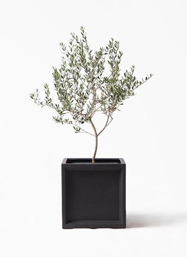 観葉植物 オリーブの木 8号 マンザニロ ブリティッシュキューブ 付き