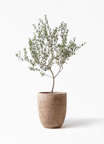 観葉植物 オリーブの木 8号 マンザニロ ルーガ アンティコ アルトエッグ 付き