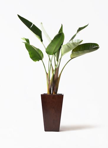 観葉植物 オーガスタ 8号 MOKU スクエア 付き