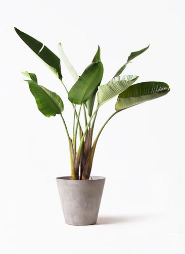 観葉植物 オーガスタ 8号 アートストーン ラウンド グレー 付き