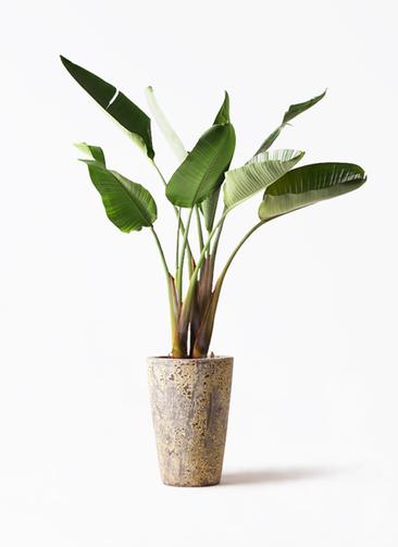 観葉植物 オーガスタ 8号 アトランティス クルーシブル 付き