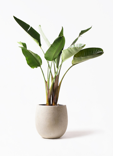 観葉植物 オーガスタ 8号 テラニアス バルーン アンティークホワイト 付き