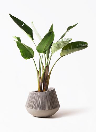 観葉植物 オーガスタ 8号 エディラウンド グレイ 付き