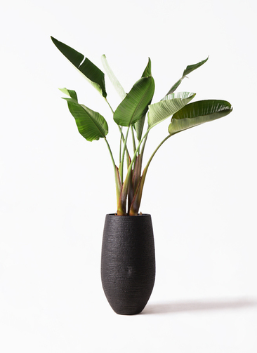 観葉植物 オーガスタ 8号 フォンティーヌトール 黒 付き