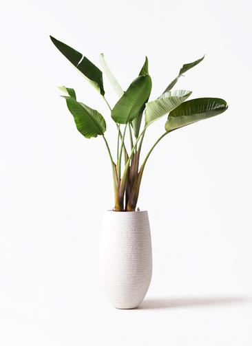 観葉植物 オーガスタ 8号 フォンティーヌトール 白 付き