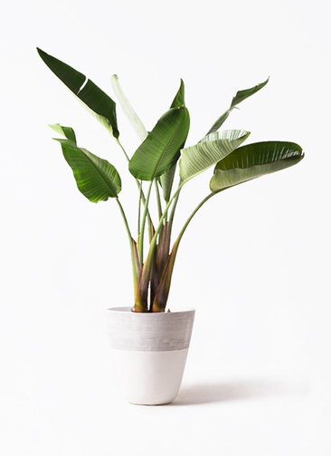 観葉植物 オーガスタ 8号 ジュピター 白 付き