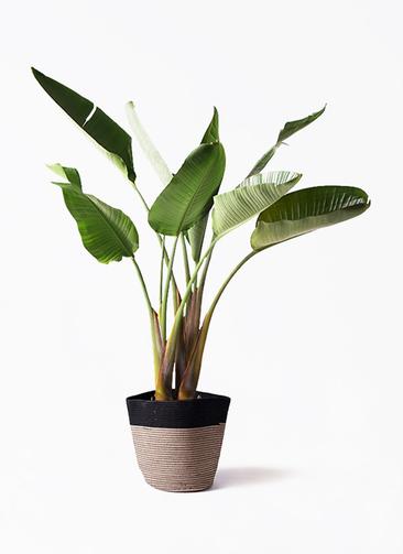 観葉植物 オーガスタ 8号 リブバスケットNatural and Black 付き