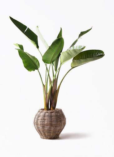 観葉植物 オーガスタ 8号 グレイラタン 付き