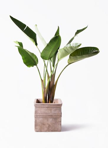 観葉植物 オーガスタ 8号 テラアストラ カペラキュビ 赤茶色 付き