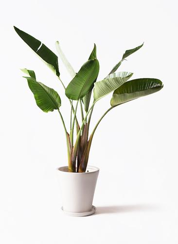 観葉植物 オーガスタ 8号 サブリナ 白 付き