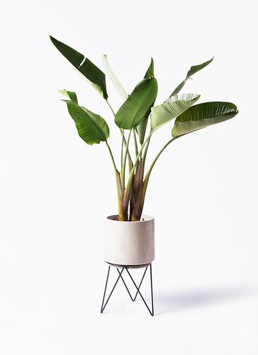 観葉植物 オーガスタ 8号 ビトロ エンデカ 鉢カバースタンド付 クリーム 付き