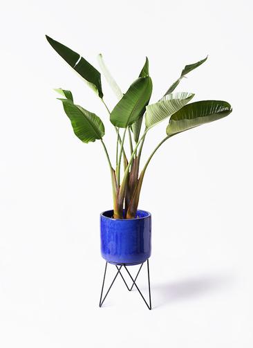 観葉植物 オーガスタ 8号 ビトロ エンデカ 鉢カバースタンド付 ブルー 付き