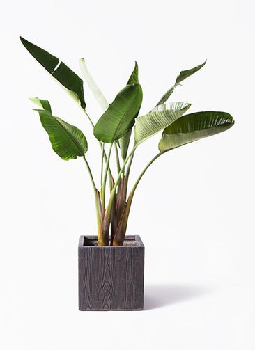 観葉植物 オーガスタ 8号 ベータ キューブプランター ウッド 茶 付き