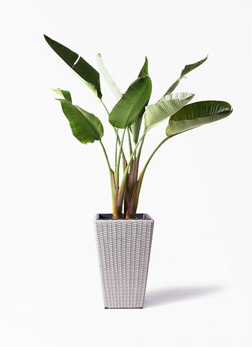 観葉植物 オーガスタ 8号 ウィッカーポット スクエアロング OT 白 付き