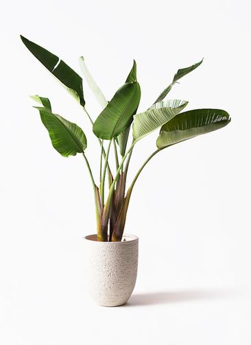 観葉植物 オーガスタ 8号 ビアスアルトエッグ 白 付き