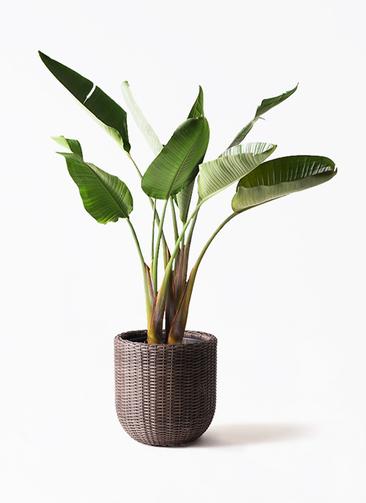 観葉植物 オーガスタ 8号 ウィッカーポット エッグ NT 茶 付き