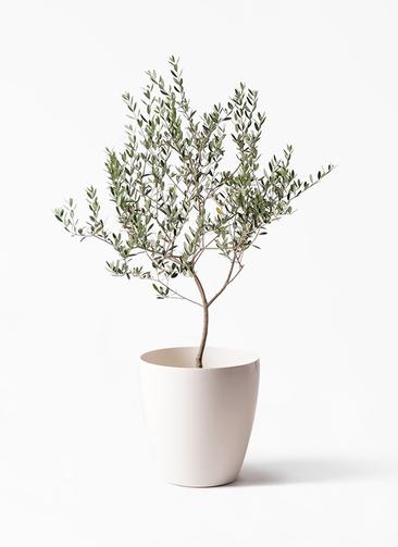 観葉植物 オリーブの木 8号 マンザニロ ラスターポット 付き