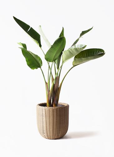 観葉植物 オーガスタ 8号 ウィッカーポット エッグ NT ベージュ 付き