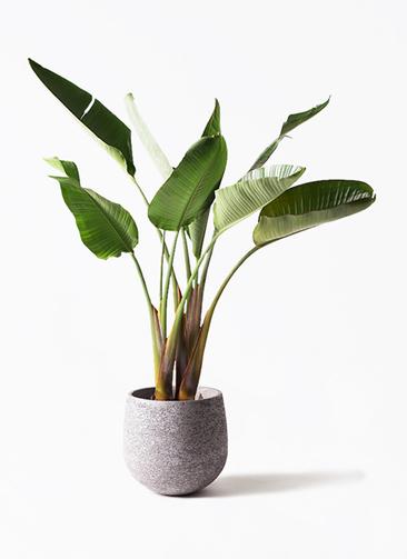 観葉植物 オーガスタ 8号 エコストーンGray 付き