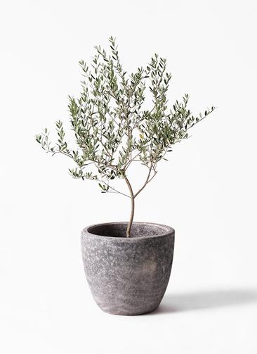 観葉植物 オリーブの木 8号 マンザニロ アビスソニアミドル 灰 付き