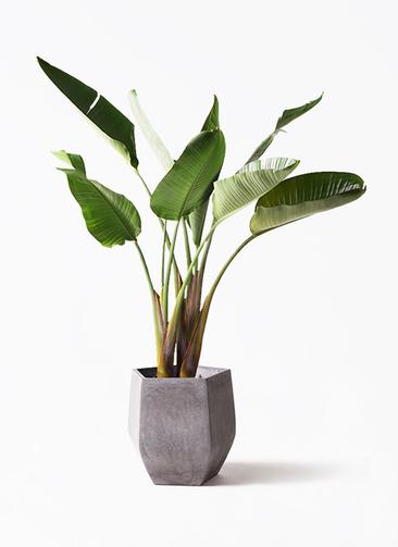 観葉植物 オーガスタ 8号 ファイバークレイ Gray 付き