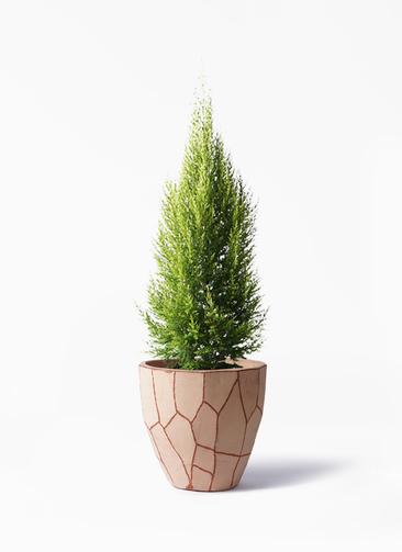 観葉植物 ゴールドクレスト 8号 ノーマル ウィスク 付き