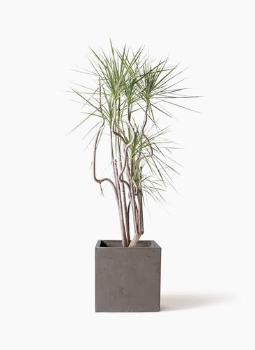 観葉植物 コンシンネ ホワイポリー 8号 曲り コンカー キューブ 灰 付き
