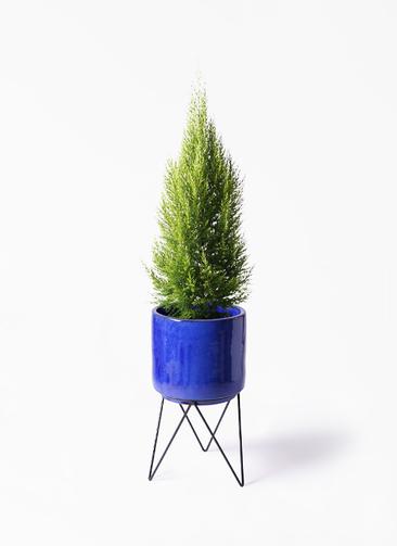 観葉植物 ゴールドクレスト 8号 ノーマル ビトロ エンデカ 鉢カバースタンド付 ブルー 付き