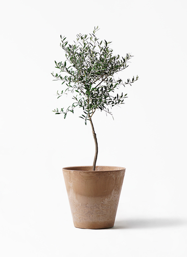 観葉植物 オリーブの木 7号 創樹 アートストーン ラウンド ベージュ 付き
