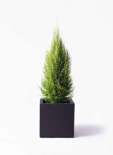 観葉植物 ゴールドクレスト 8号 ノーマル ベータ キューブプランター 黒 付き