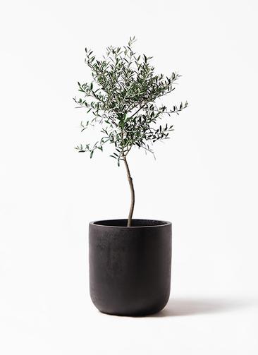 観葉植物 オリーブの木 7号 創樹 エルバ 黒 付き