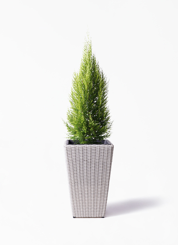 観葉植物 ゴールドクレスト 8号 ノーマル ウィッカーポット スクエアロング OT 白 付き