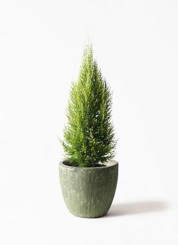 観葉植物 ゴールドクレスト 8号 ノーマル アビスソニアミドル 緑 付き
