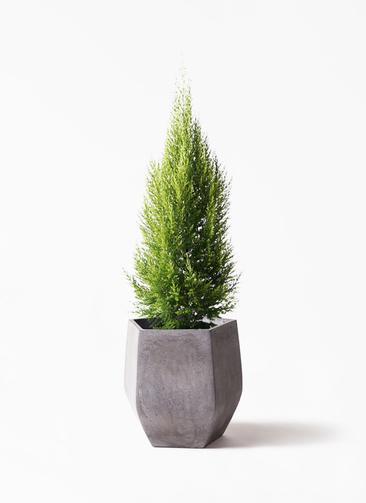 観葉植物 ゴールドクレスト 8号 ノーマル ファイバークレイ Gray 付き