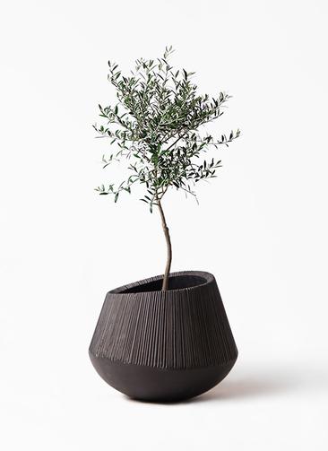 観葉植物 オリーブの木 7号 創樹 エディラウンド 黒 付き