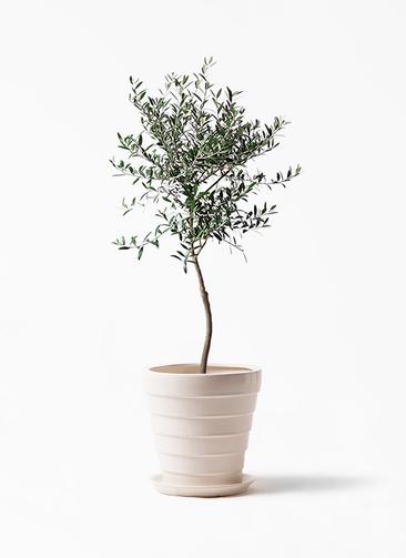 観葉植物 オリーブの木 7号 創樹 サバトリア 白 付き