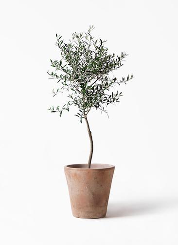 観葉植物 オリーブの木 7号 創樹 ルーガ アンティコ ソリッド 付き