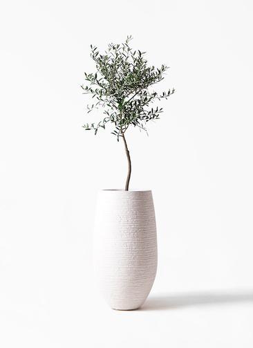 観葉植物 オリーブの木 7号 創樹 フォンティーヌトール 白 付き