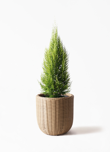 観葉植物 ゴールドクレスト 8号 ノーマル ウィッカーポットエッグ ベージュ 付き