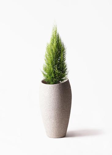 観葉植物 ゴールドクレスト 8号 ノーマル エコストーントールタイプ Light Gray 付き