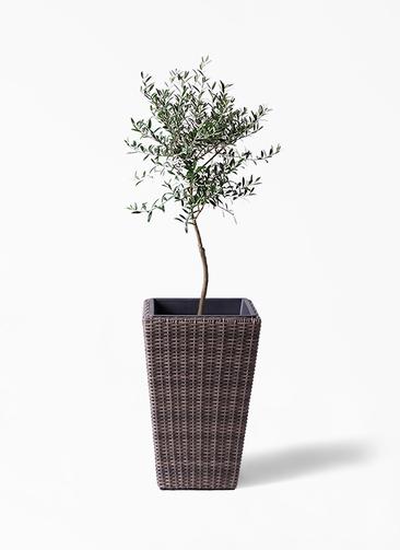 観葉植物 オリーブの木 7号 創樹 ウィッカーポット スクエアロング OT 茶 付き