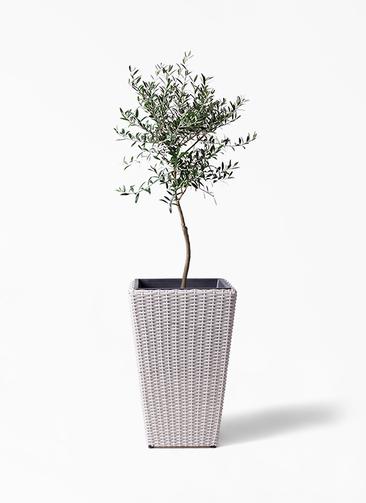 観葉植物 オリーブの木 7号 創樹 ウィッカーポット スクエアロング OT 白 付き