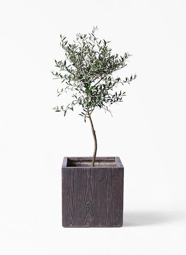 観葉植物 オリーブの木 7号 創樹 ベータ キューブプランター ウッド 茶 付き