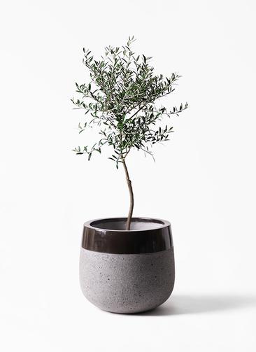 観葉植物 オリーブの木 7号 創樹 ファイバーストーンタウルス 黒 付き
