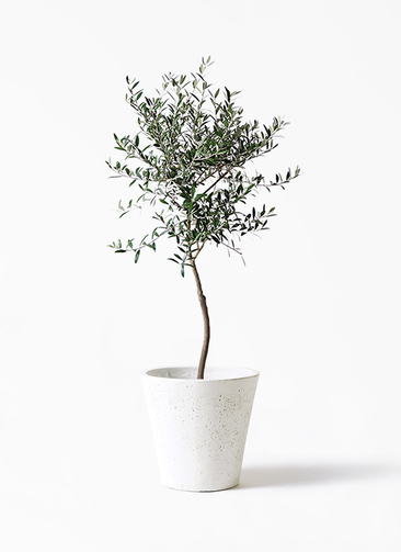 観葉植物 オリーブの木 7号 創樹 フォリオソリッド 白 付き
