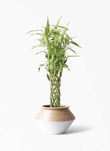 観葉植物 ドラセナ ミリオンバンブー(幸運の竹) 8号 アルマジャー 白 付き